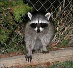 Raccoon; Photo Courtesy Dave Herr, USDA Forest Service