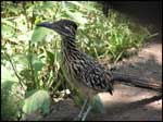 Roadrunner; Photo Courtesy Clark Reames, USDA Forest Service