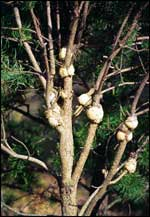 Globose galls typical of the pine-oak and pine-pine gall rusts on jack pine; photo courtesy Steven Katovich, USDA Forest Service