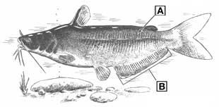 blue catfish diagram