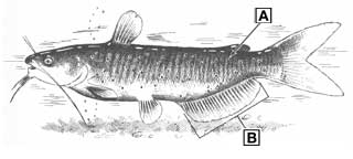 channel catfish diagram
