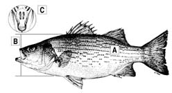 Hybrid Striped Bass Diagram