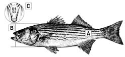 Striped Bass Diagram