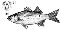White Bass Diagram