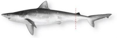 Atlantic Sharpnose