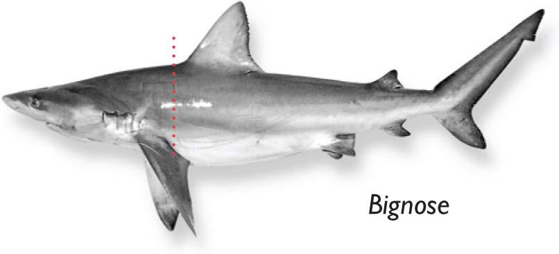Bignose-shark.jpg