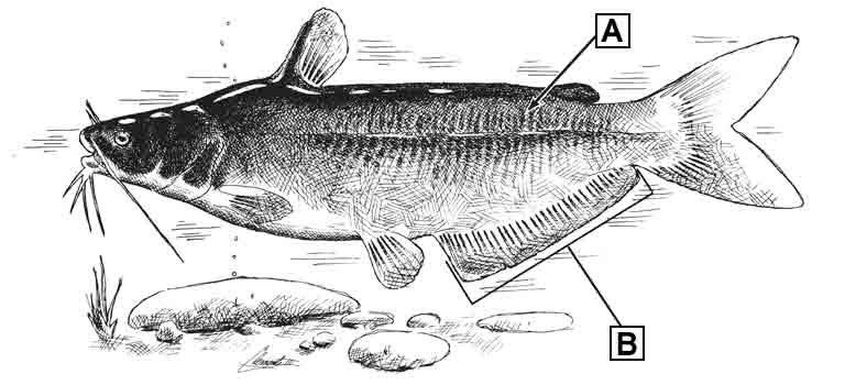 blue-catfish-id-diagram.jpg