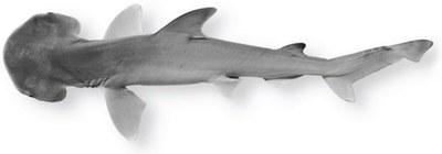 bonnethead-shark.jpg