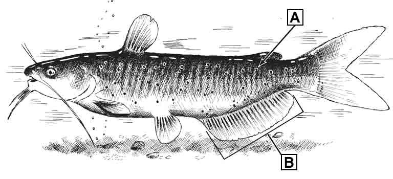 channel-catfish-id-diagram.jpg