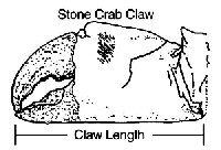 Diagram showing proper measurement of stone crab claw