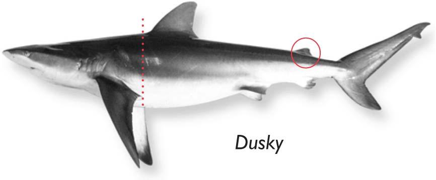 Dusky-shark.jpg
