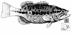 Bass comparison and identification texas parks for Fishing rules in texas