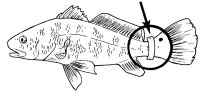 red drum tagging