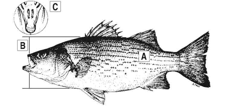 hybrid-striped-bass-id-diagram.jpg
