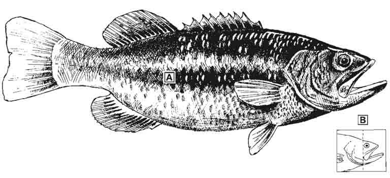 largemouth-bass-id-diagram.jpg