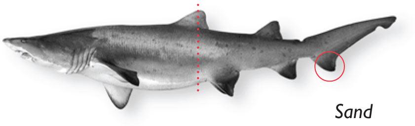Sand-tiger-shark.jpg