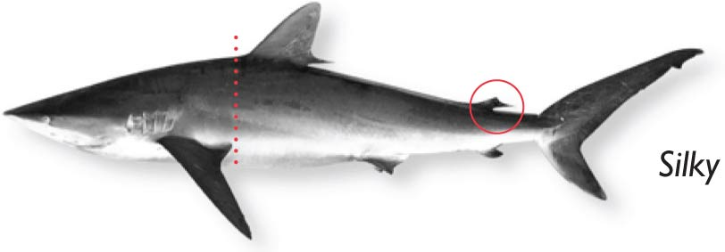 Silky-shark.jpg