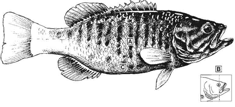 smallmouth-bass-id-diagram.jpg