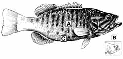 smallmouth3.jpg