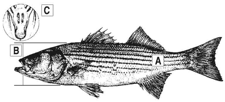 striped-bass-id-diagram.jpg