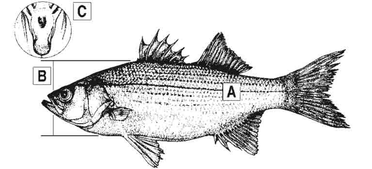 white-bass-id-diagram.jpg