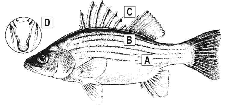 yellow-bass-id-diagram.jpg
