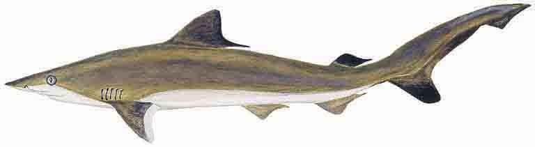 Sharpnose Shark.jpg
