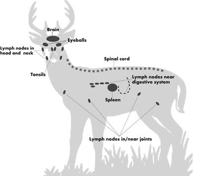 diagram: never eat brain, eyeballs, tonsils, lymph nodes, spinal cord, or spleen from CWD-susceptible species
