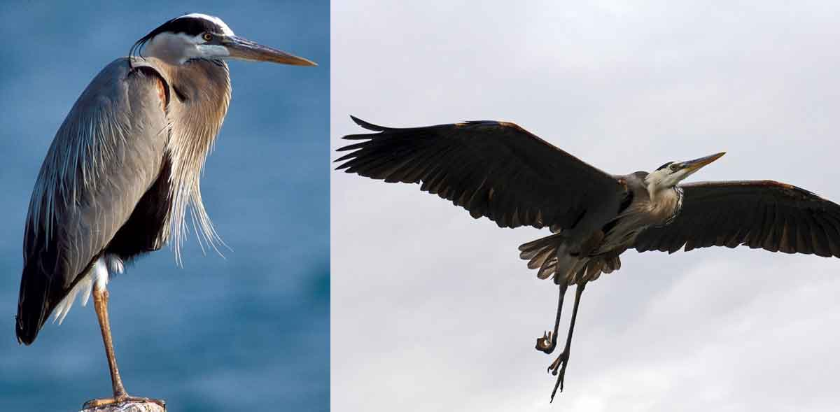 great blue herons with folded necks when standing and in flight