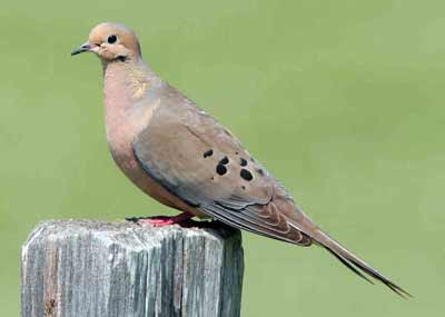 mourning dove perched on a post