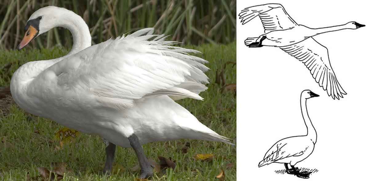 muted-swan.jpg