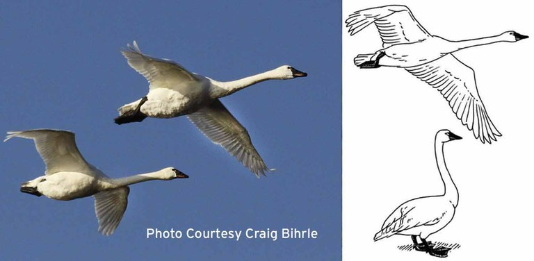swans showing white feathers and short legs when standing and in flight