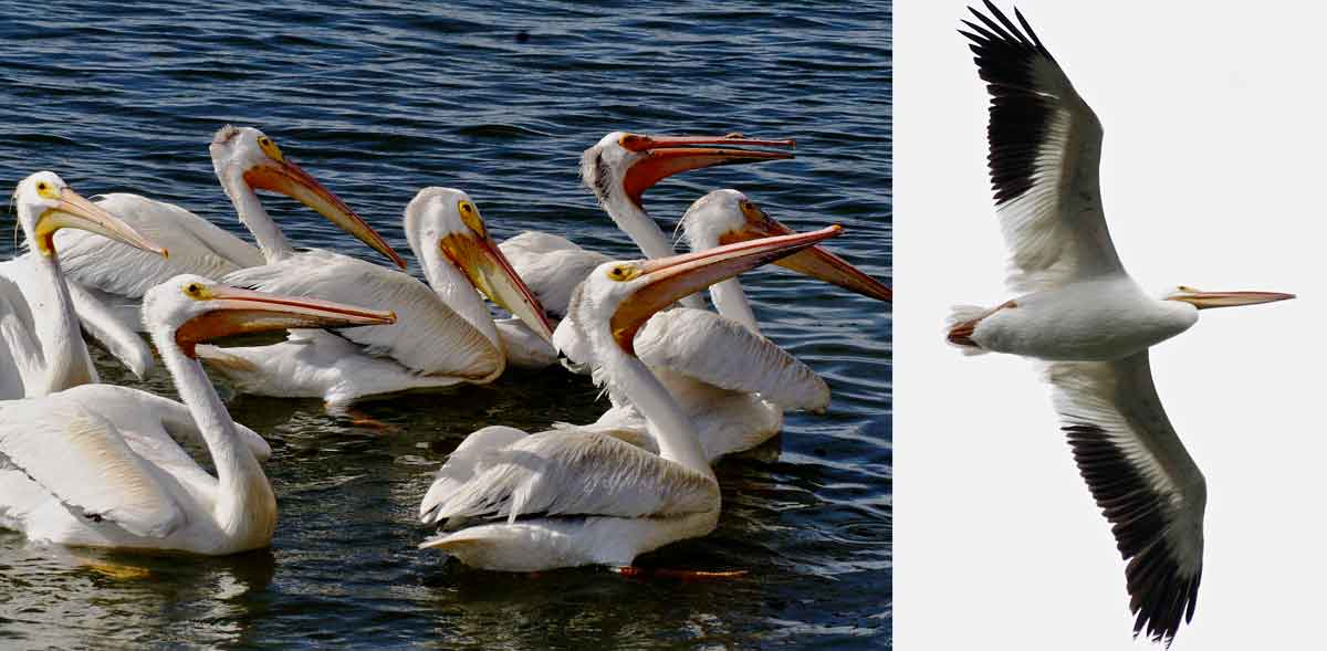 white pelicans with long, yellow bills and showing black edging along winds during flight