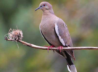 white-winged-dove-400px.jpg