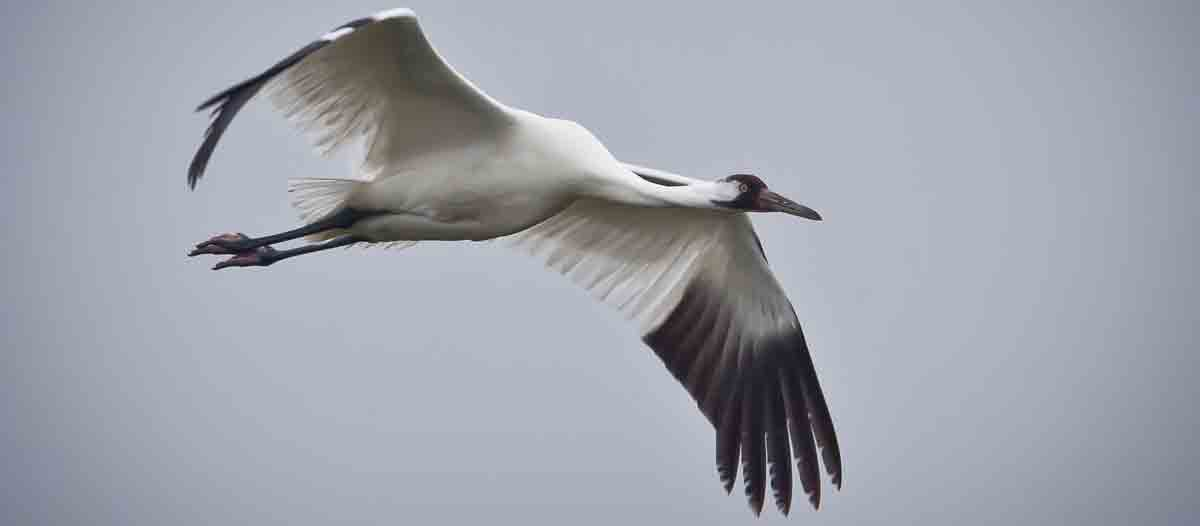 whooping crane with black wingtips showing in flight