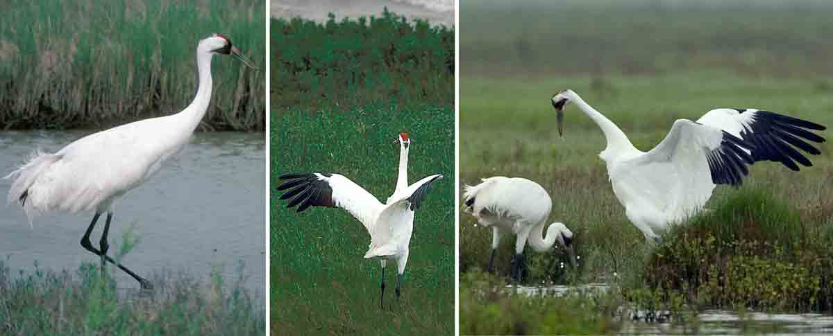 whooping cranes stand taller than other cranes and have a red patch on the head