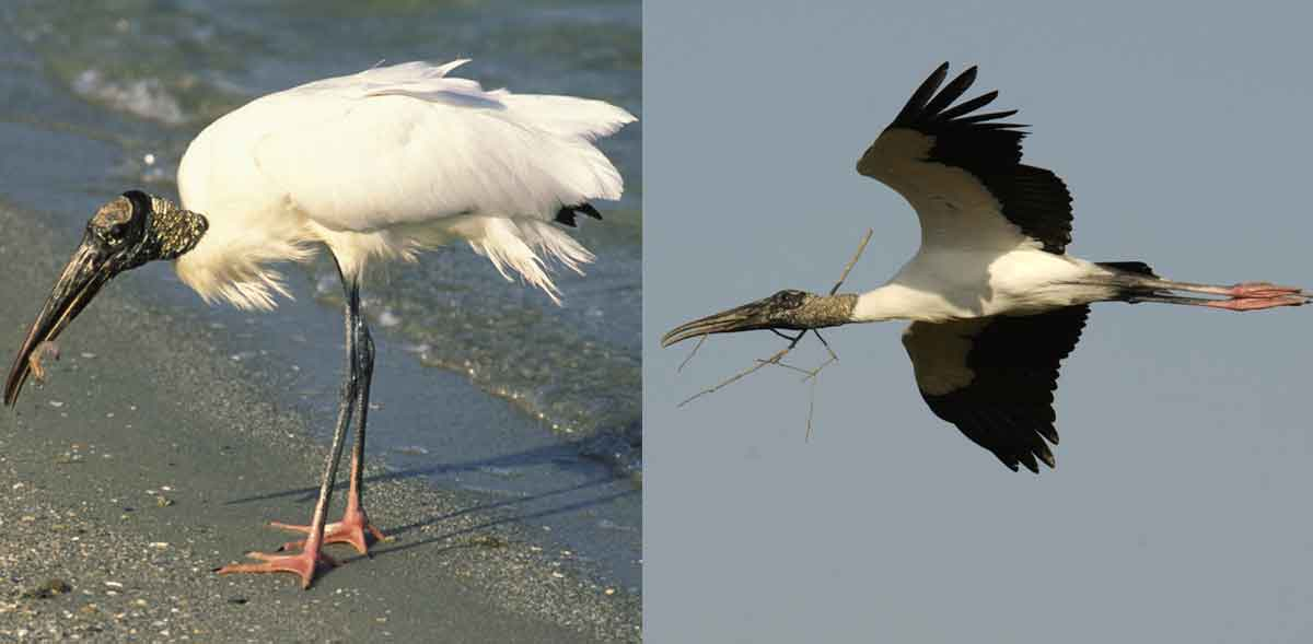 wood storks showing white feathers when standing and black tail and wing edges when in flight