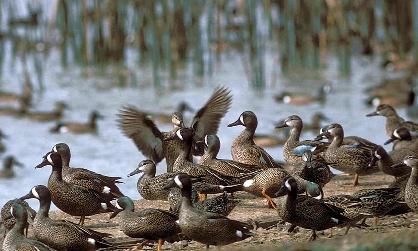 Teal Texas Parks Wildlife Department