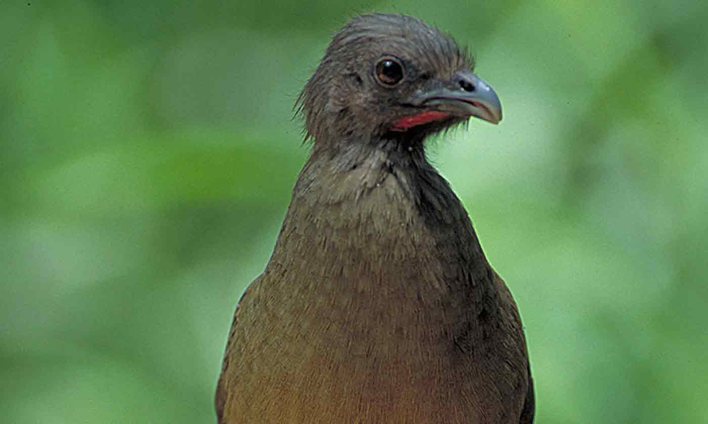chachalaca  u2014 texas parks  u0026 wildlife department