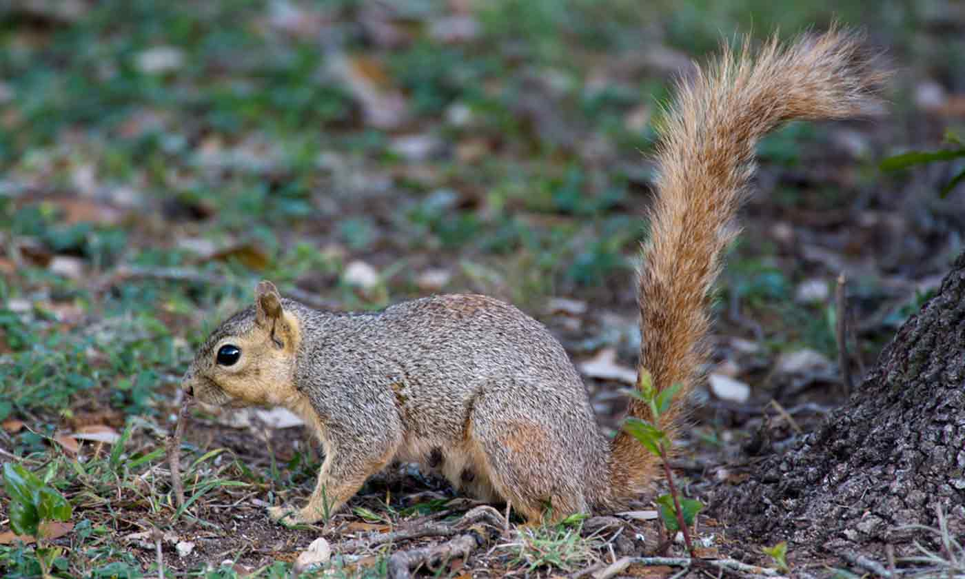 How To Hunt Squirrels In Your Backyard squirrel — texas parks & wildlife department