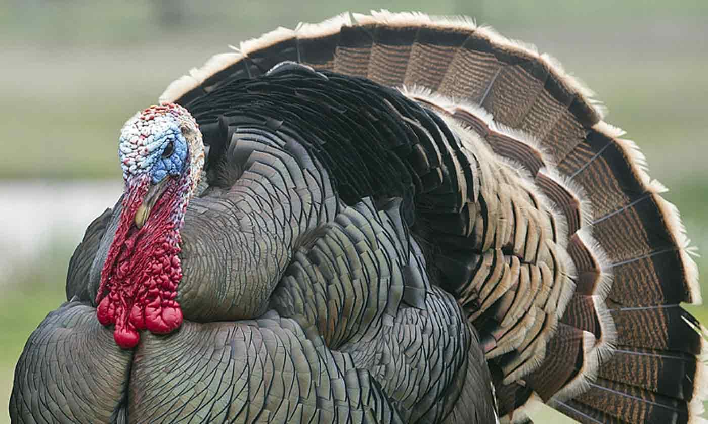 Turkey Texas Parks Wildlife Department