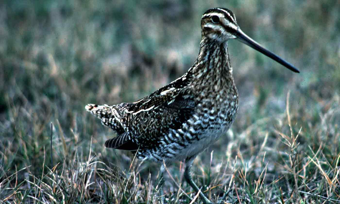 Wilsons Snipe Common Snipe Or Jacksnipe Texas Parks Wildlife