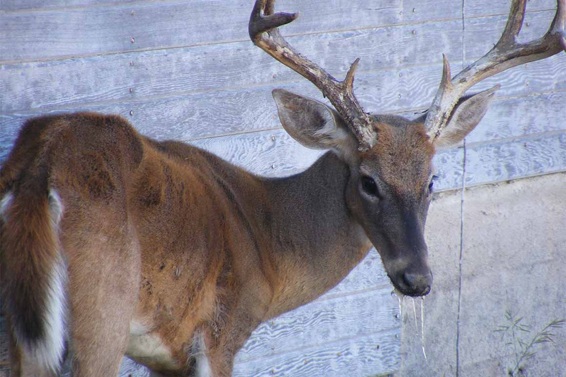 Chronic Wasting Disease Deer