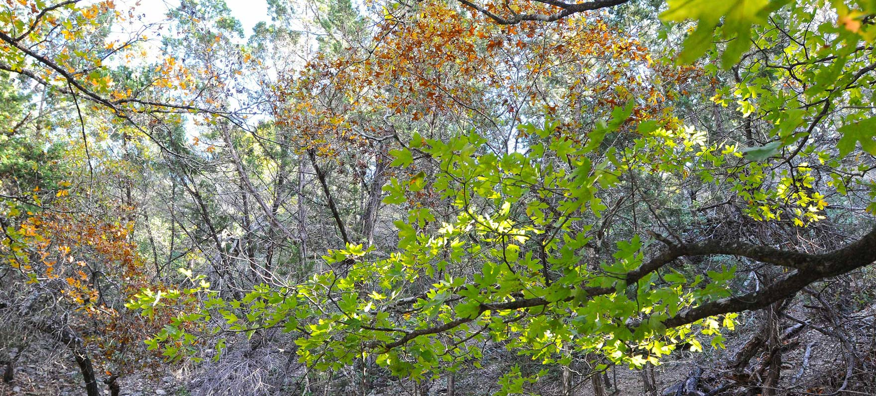 A view of maple trees at Albert & Bessie Kronkosky State Natural Area. this park is not yet open..