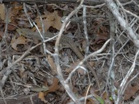 Alligator lizard hiding in leaves and sticks