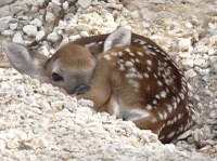 Fawn curled up behind rock