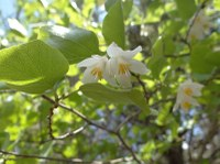 Small, bell-shaped white blooms