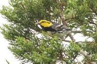 Small bird with yellow head