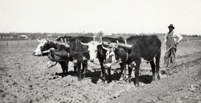 Farmer standing behind cattle in a field