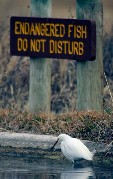 Egret fishing in front of endangered fish park sign